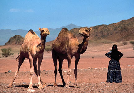 A Bedouin woman standing with two camels in the western Arabian Peninsula.